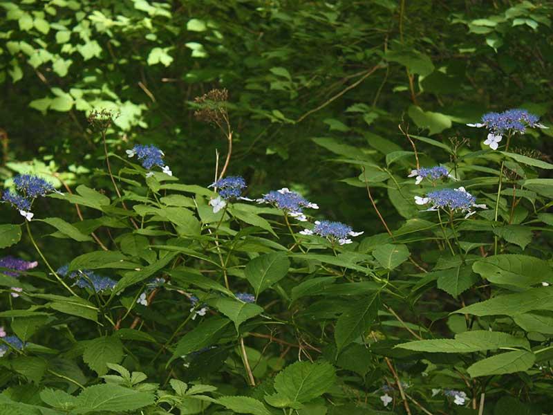 Vildväxande hortensia i Sydkoreas skogar