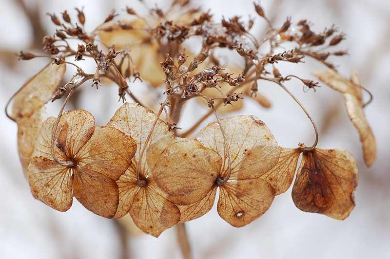 Vinterståndare av blomma av klätterhortensia