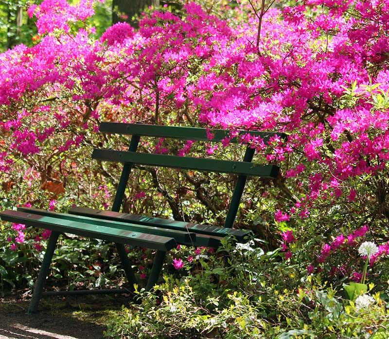 Vårblommande azalea vid bänk i trädgård