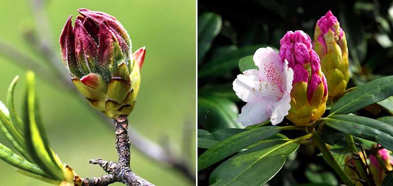 Blomknoppar av azalea och rododendron