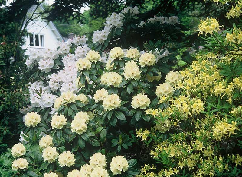 Buskage med blommande rododendron och guldazalea