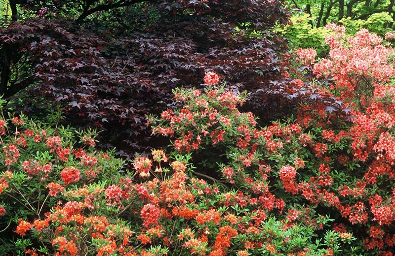 Buskage med rododendron och blodbok i rött