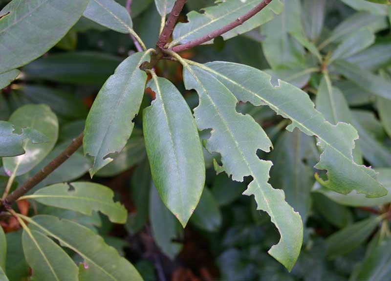 Angrepp av öronvivel på rododendronblad