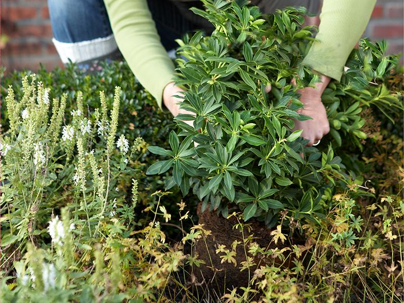 Plantering av rhododendron i rabatt