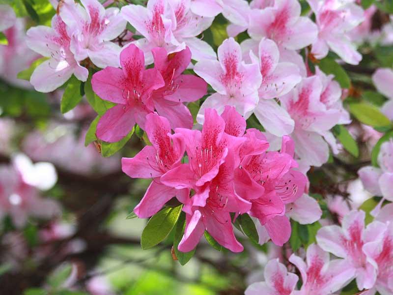 Rhododendron med stora rosa blommor