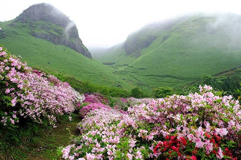 Vildväxande rhododendron i Japanska berg