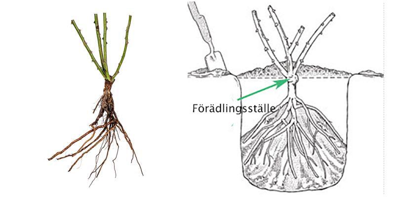 Plantering av barrotad ros