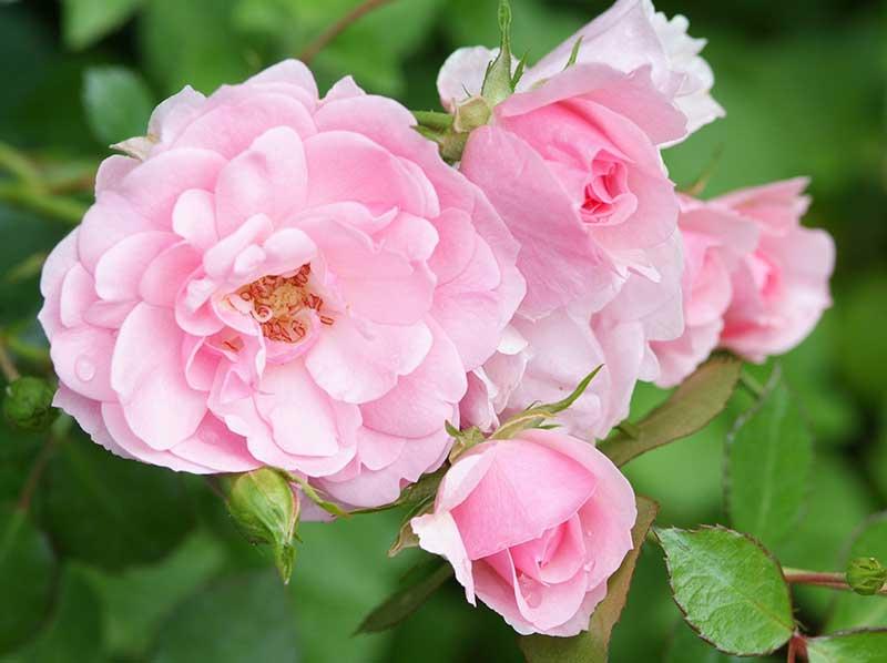 Barrotad ros Bonica