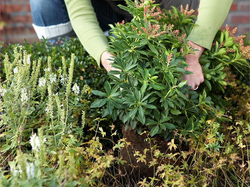 Plantering av prydnadsbuske i rabatt