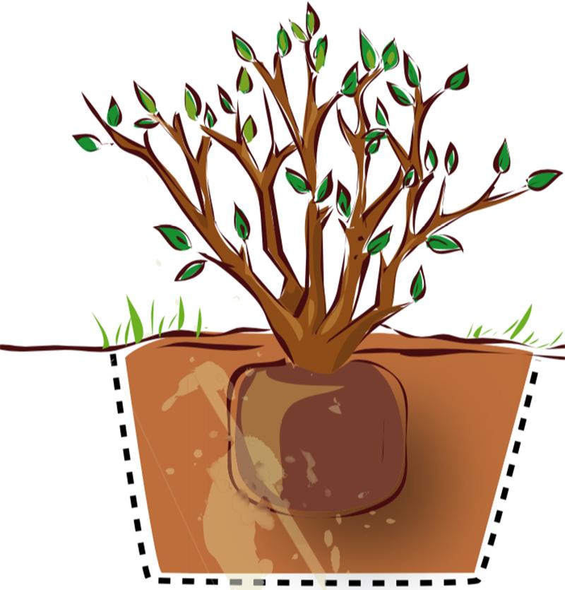 Planteringsdjup för prydnadsbuskar