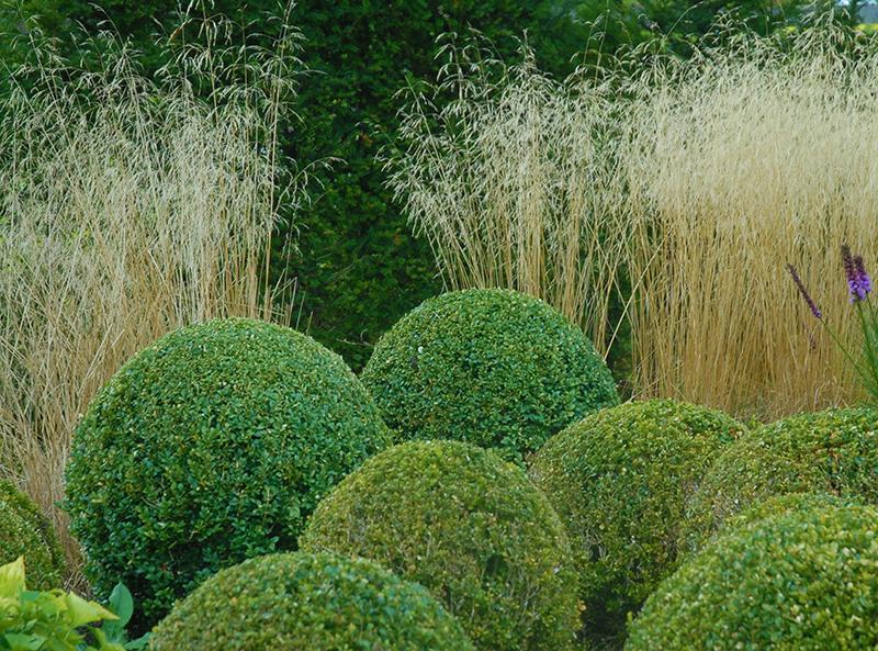 Kombination prydnadsgräs och vintergrön formklippt buxbom