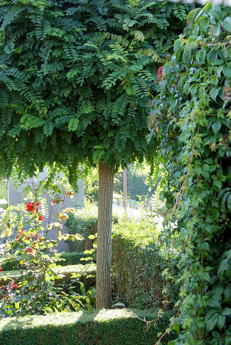Klotrobinia Robinia pseudoacacia