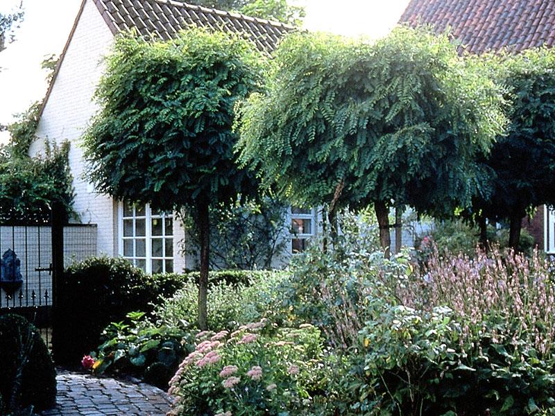 klotrobinia-Robinia-pseudoacacia