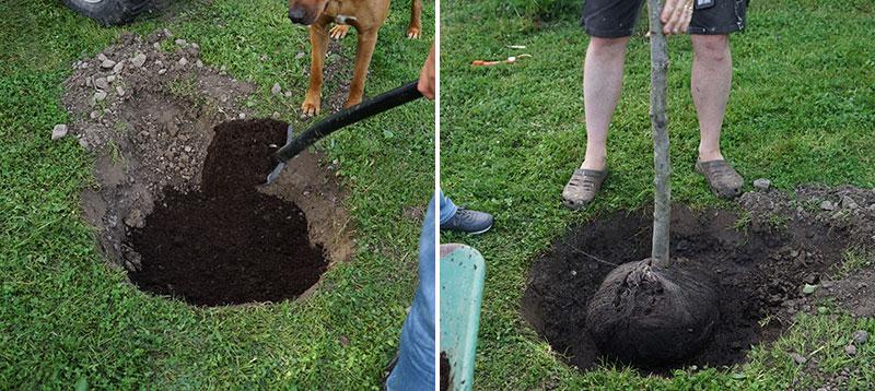 Plantering av prydnadsträd grävning