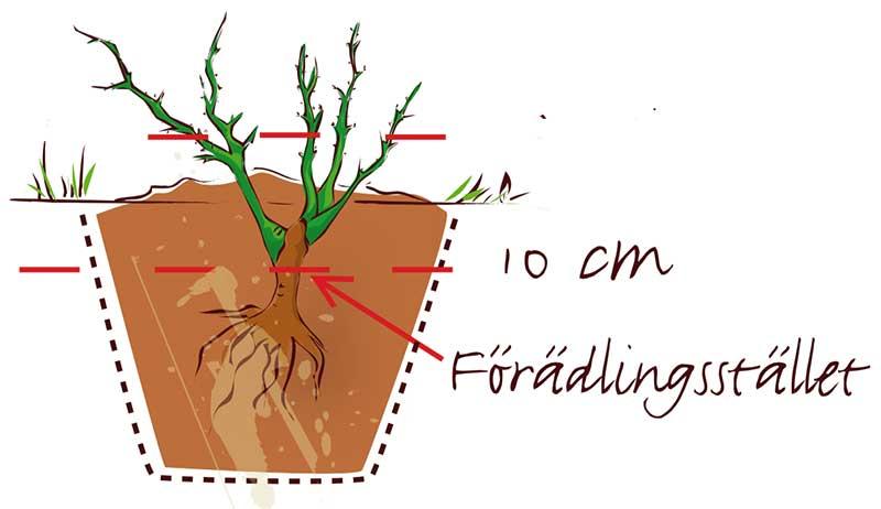 Plantering av krukodlad ros