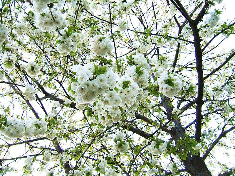 PRunus avium Plena vita blommor