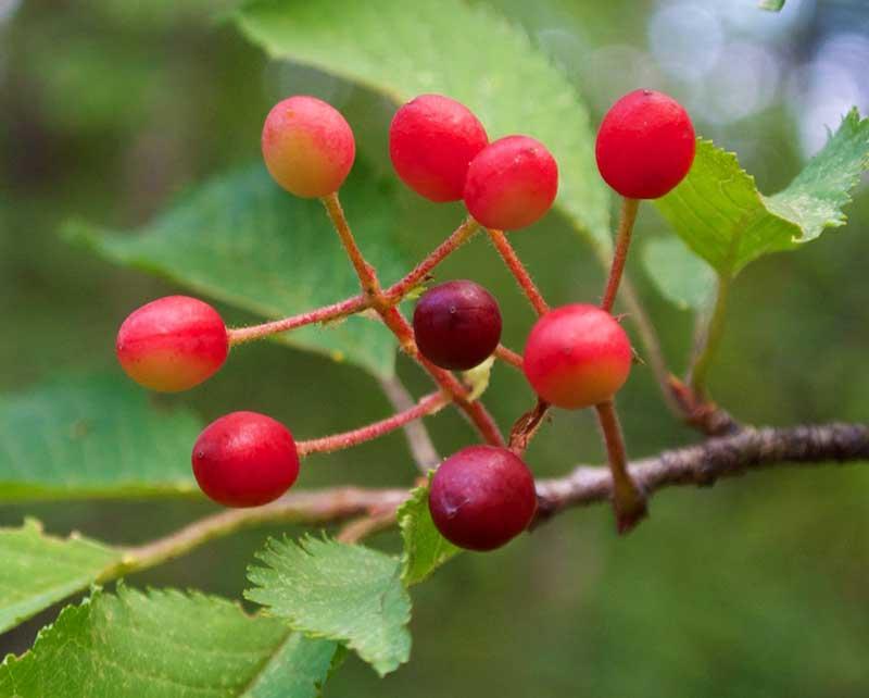 jamasakurakörsbär
