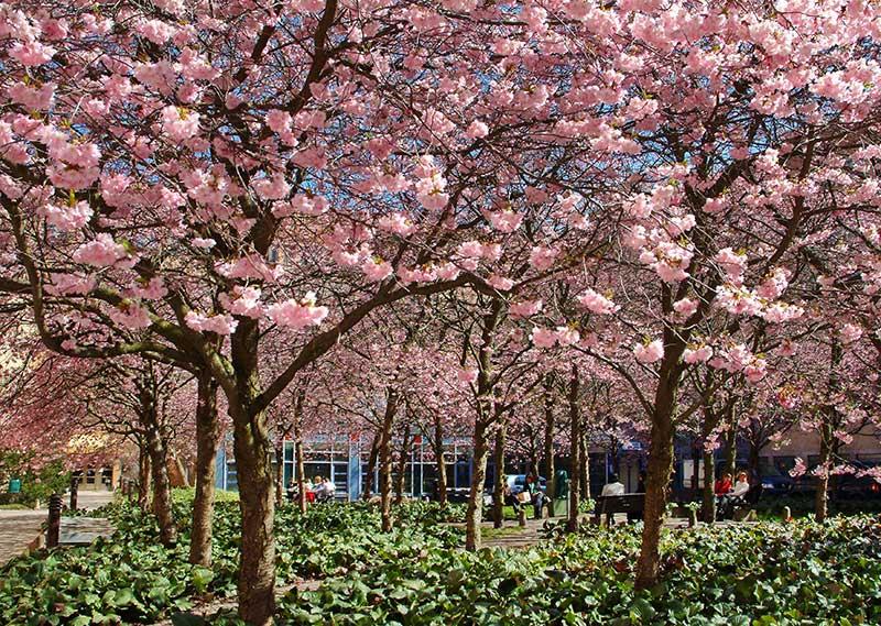 Bergkörsbär med rosa blommor