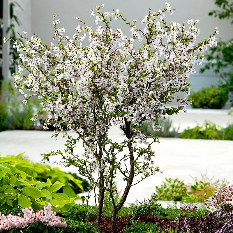 Dvärgkörsbär med vita blommor