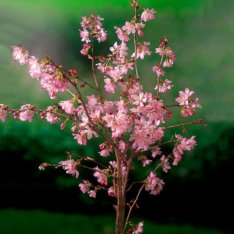 Kurilerkörsbär med rosa blommor