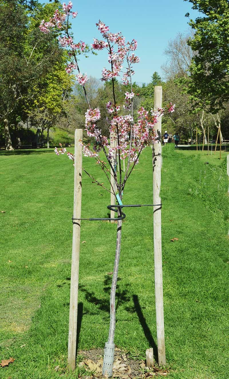 Nyplanterat prydnadskörsbär