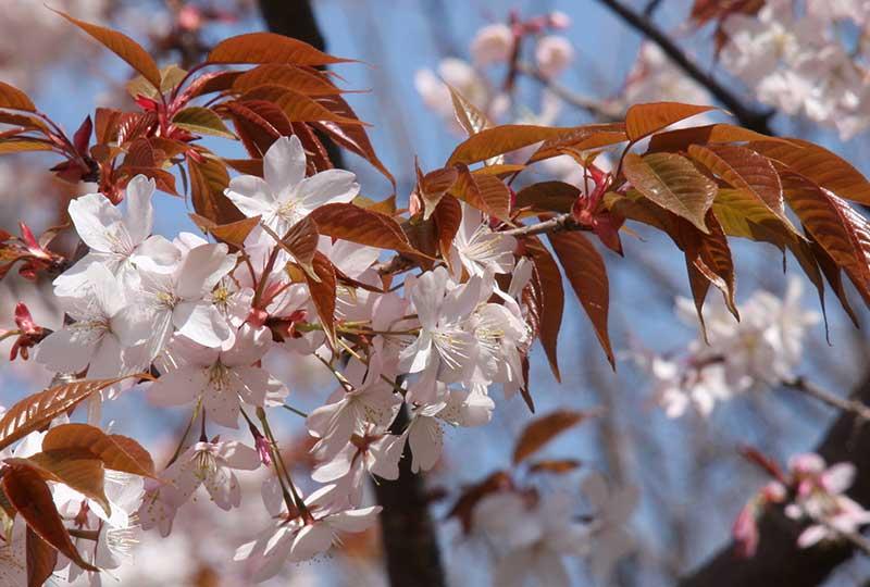 Blommor av bergkörsbär med brungröna blad