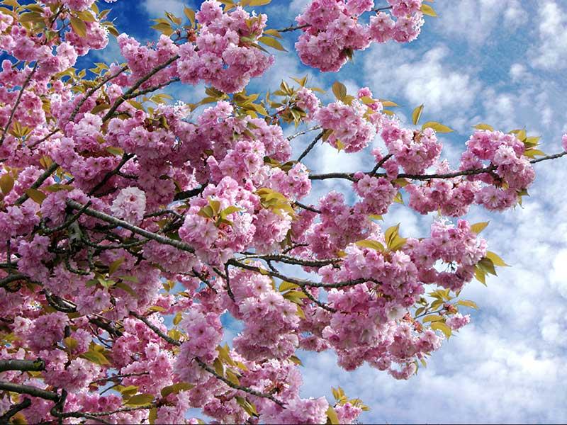 Japanskt prydnadskörsbär med rosa blommor