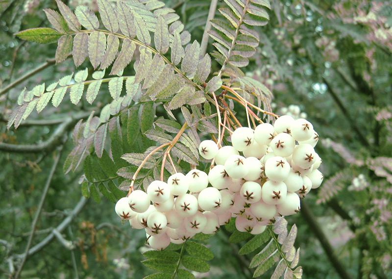 Pärlrönn med vita frukter