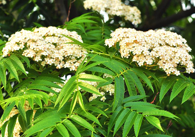 Rönn blommor