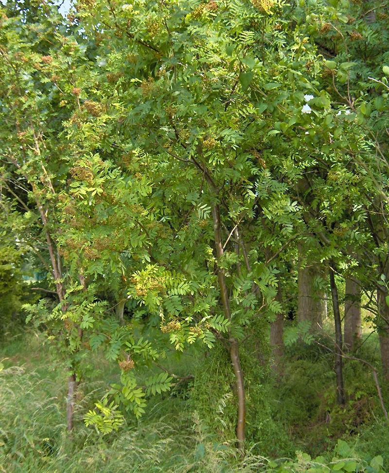 Dunge av rönn i trädgård