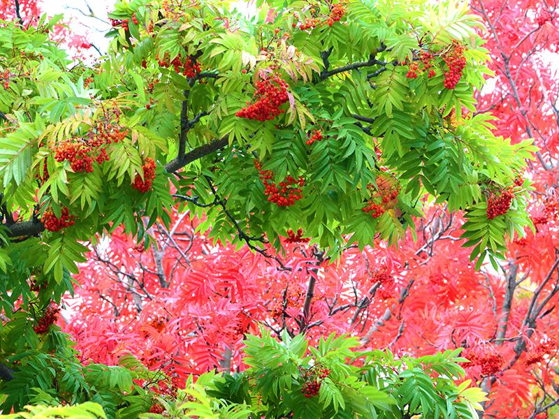 Rönn träd med vacker höstfärg