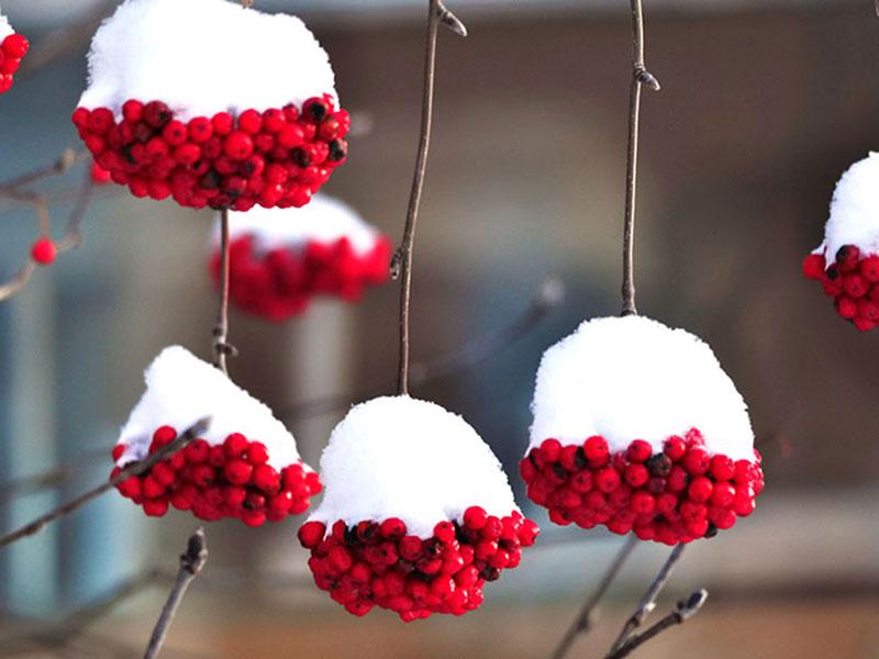 Rönnbär röda vinter