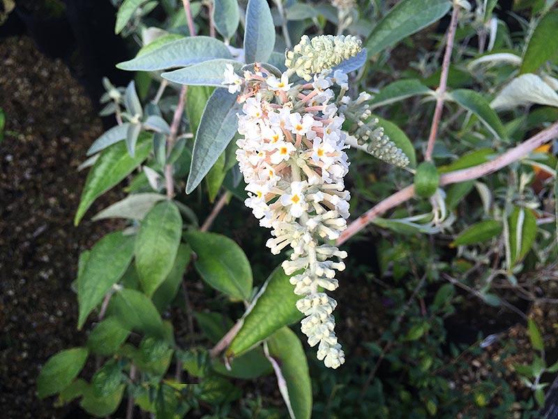 Buddleja Fallowiana Alba, vita blommor