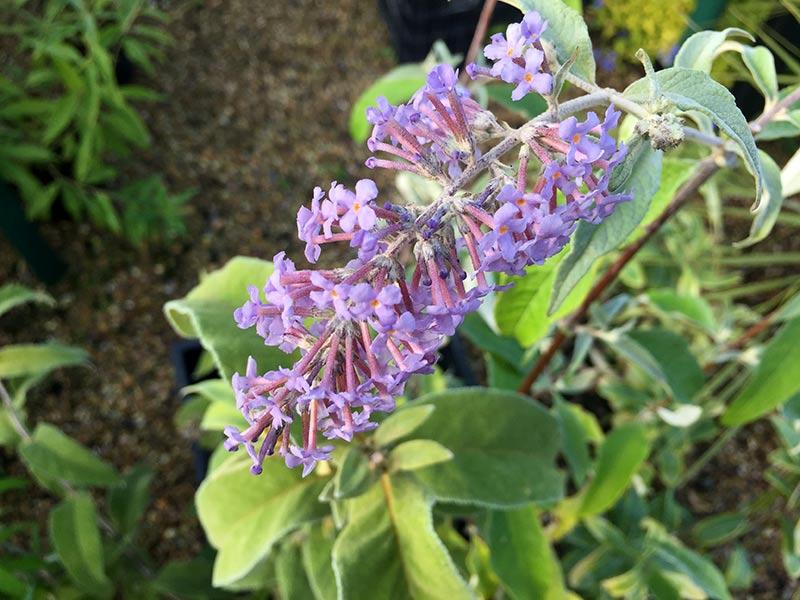 Blå blommor hos Buddleja salviifolia