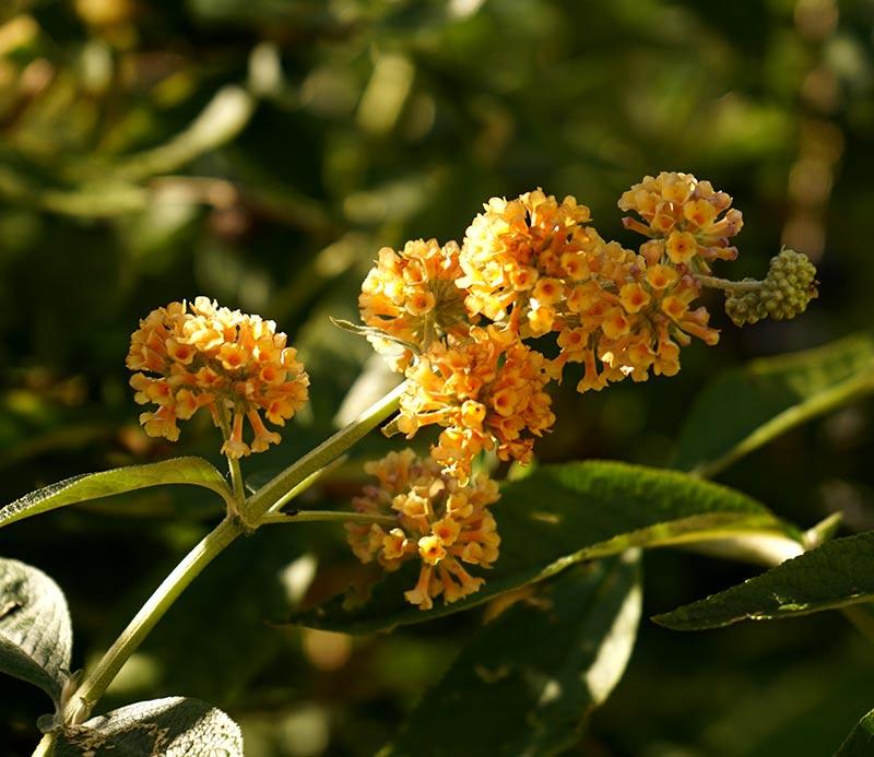 Buddlejahybrid Buddleja x weyeriana med gula blommor