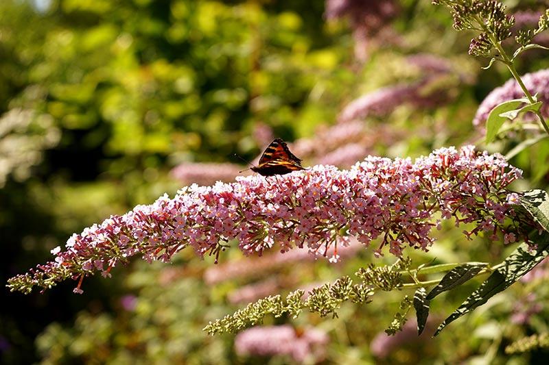 Lång blomställning på rosablommande fjärilsbuske med fjäril