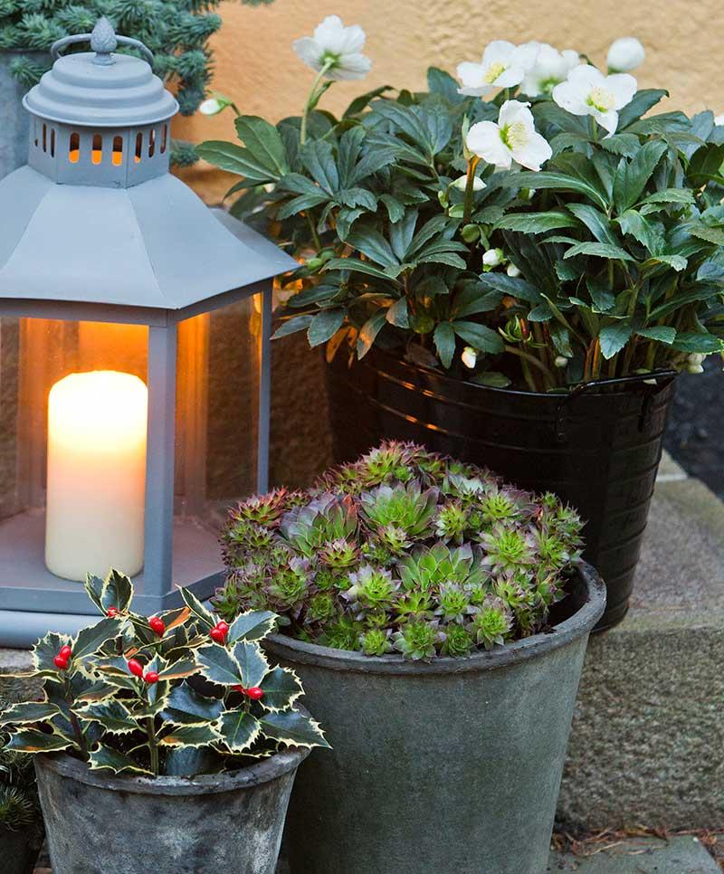 Utekrukor med julros, järnek och taklök