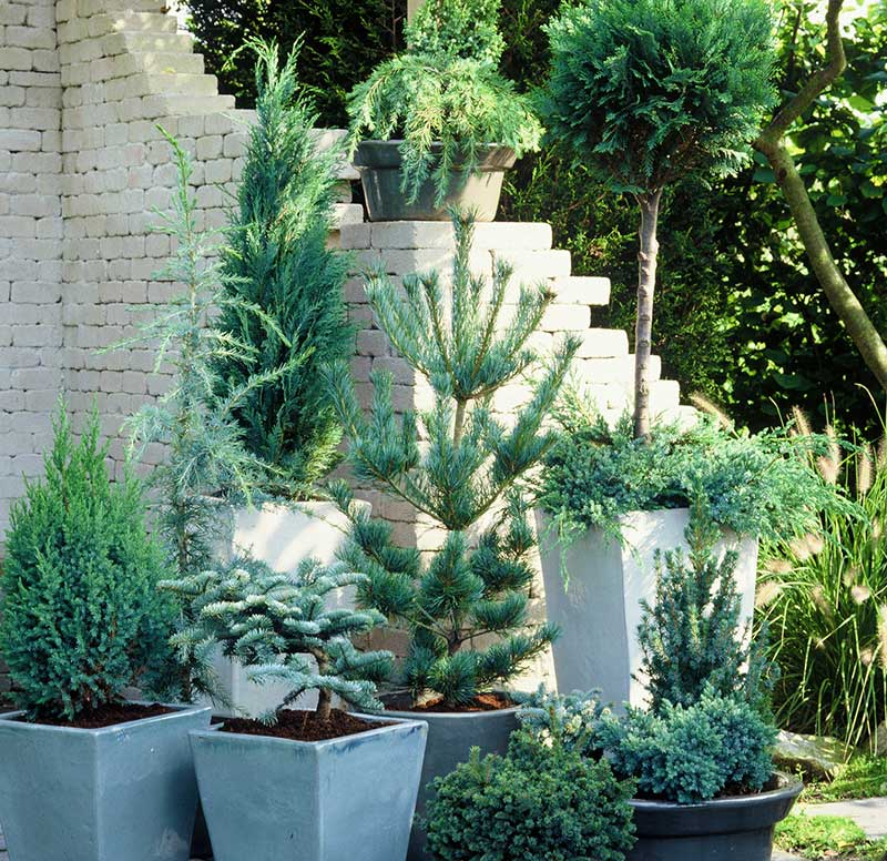 Vintergröna växter i utekruka