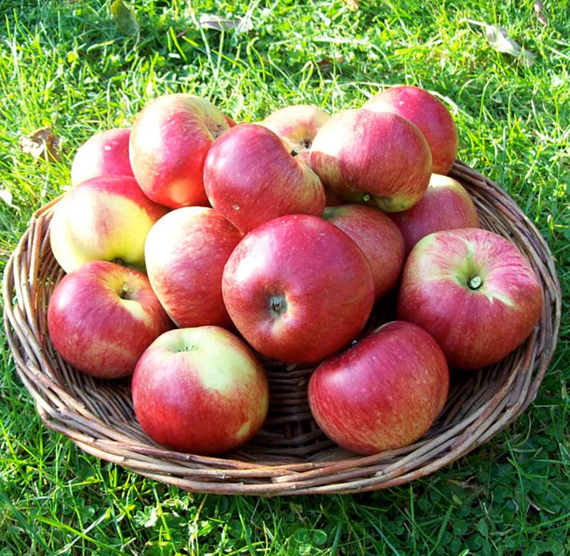 Äppelsort Cox Pomona