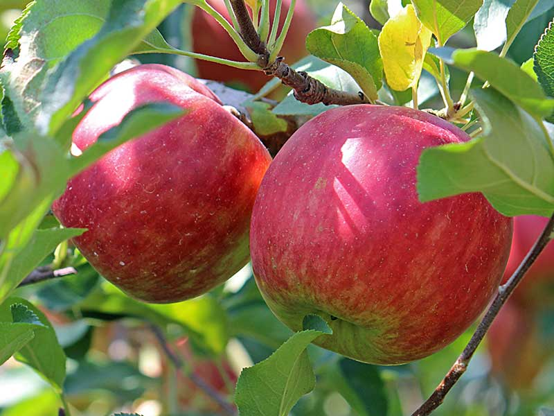 Äppelsort Amorosa