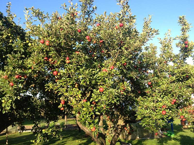 Äppelträd Lobo