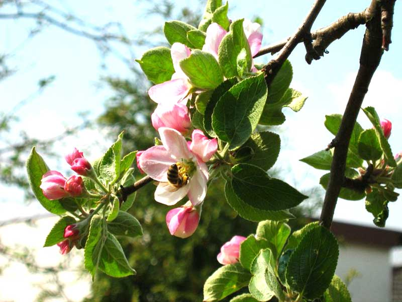 Pollinering av äppelblomma