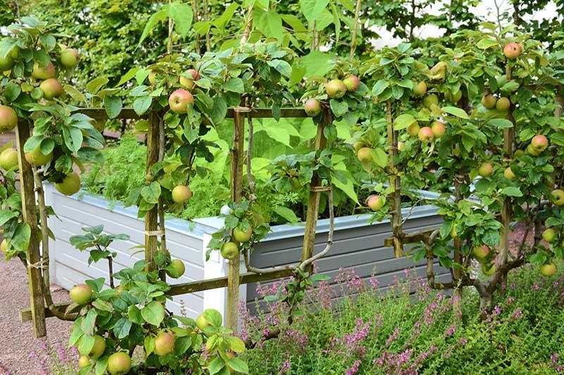 Spaljerat äppelträd som rumsdelare