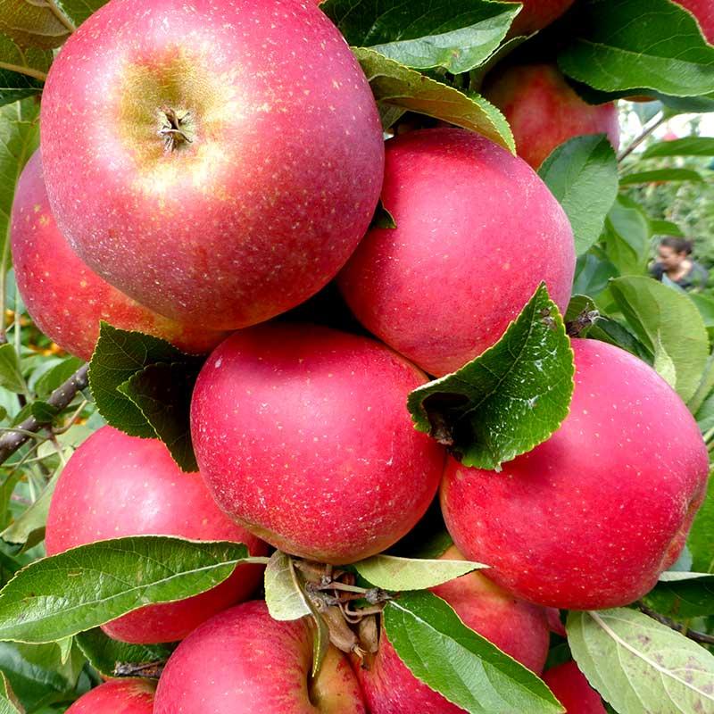 Agnes äppelsort sommaräpple