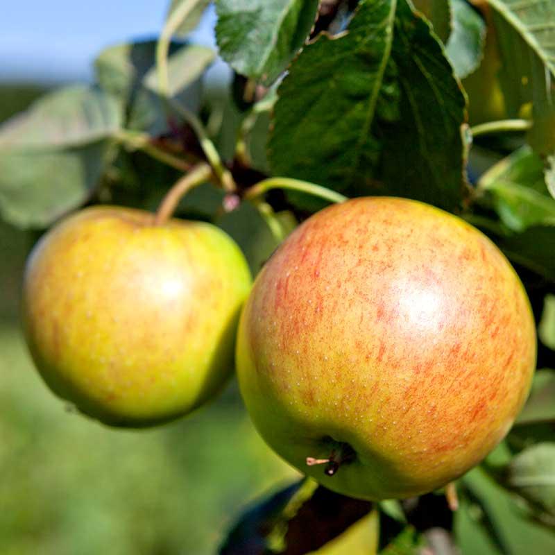 Äppelsort Filippa
