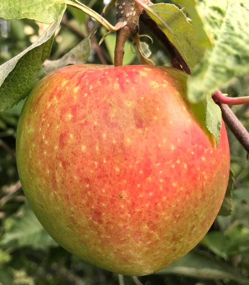 Äppelsrot James Grieve