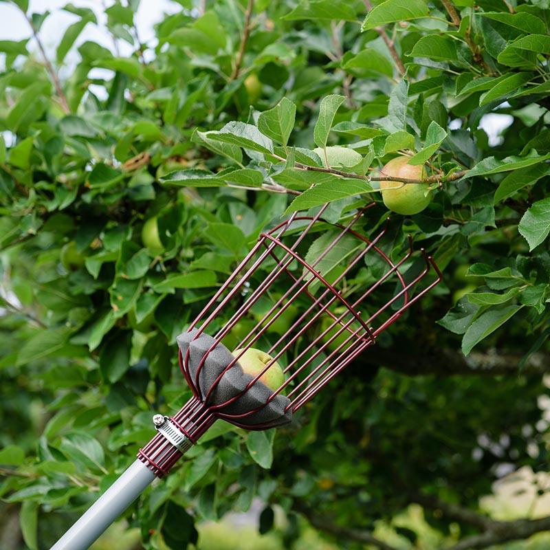 Skörd av äpplen med fruktplockare