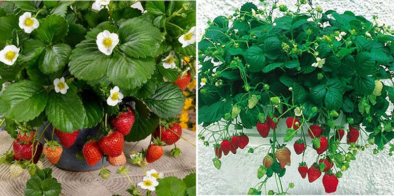 jordgubbar söta sorter