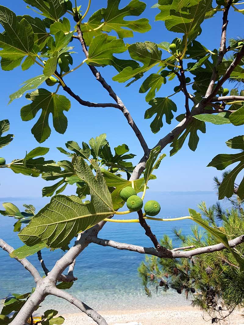 Fikonträd i medelhavet med frukt