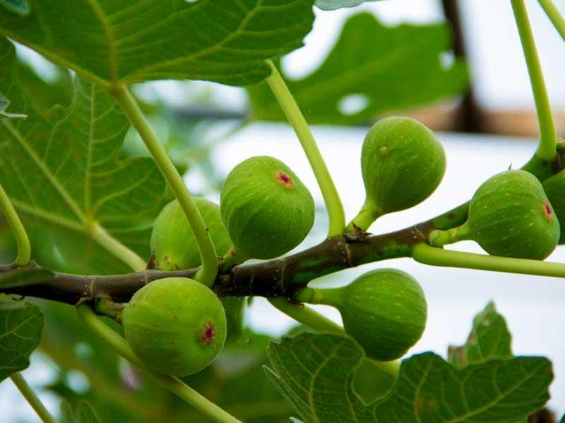 Frukter på fikonträd